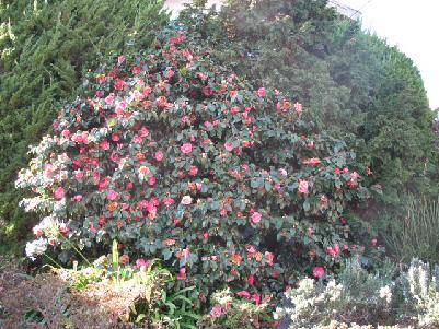 camellias1